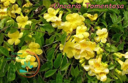 Naturoparia con Francesca: #Uncaria Tomentosa – Azione #immunostimolante, #antivirale e #antinfiammatoria