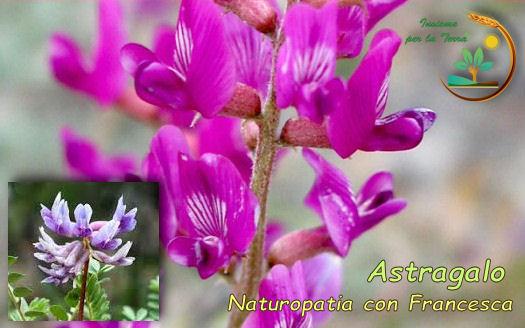#Naturopatia con Francesca: Astragalo in #Fitoterapia, le proprietà #immunostimolanti