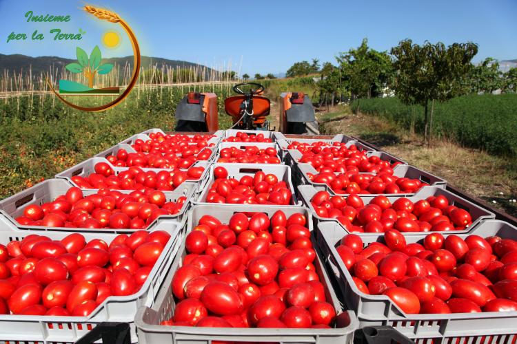Tracollo dei #pomodori, fuga dei #giovani all'estero