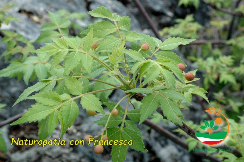 Naturopatia con Francesca – Il Palo Santo, olio essenziale e #incensi