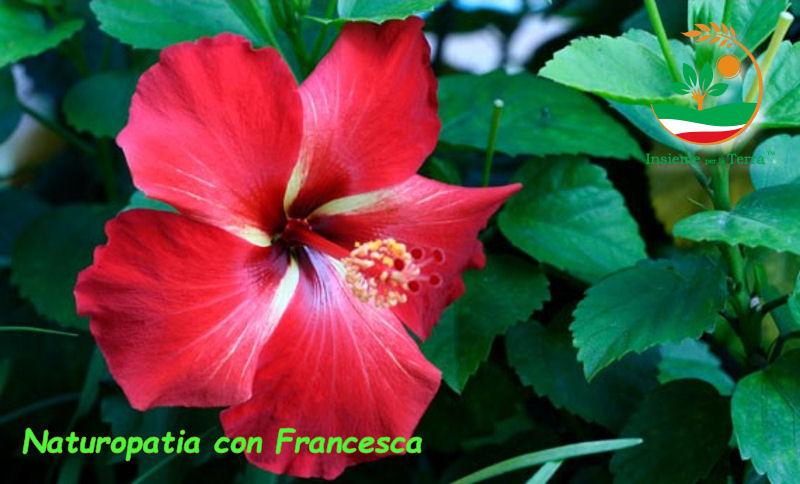 Naturopatia con Francesca – Ibisco da sempre simbolo di bellezza e femminilità